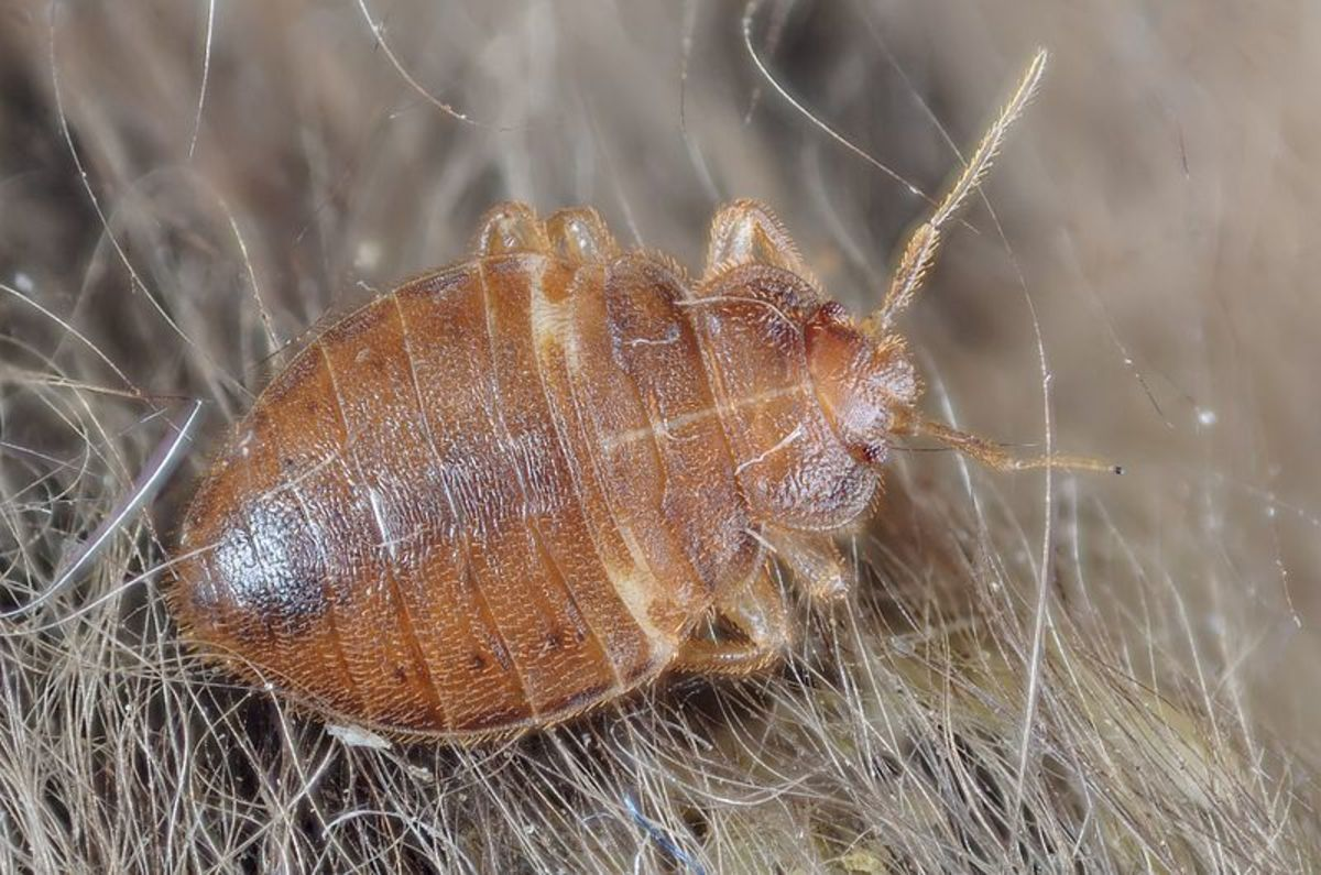 Bed bugs can be a nuisance if they come into your home.