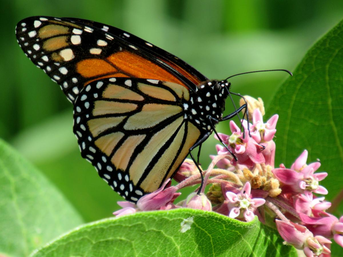 Monarch butterfly on milkweed blossoms.