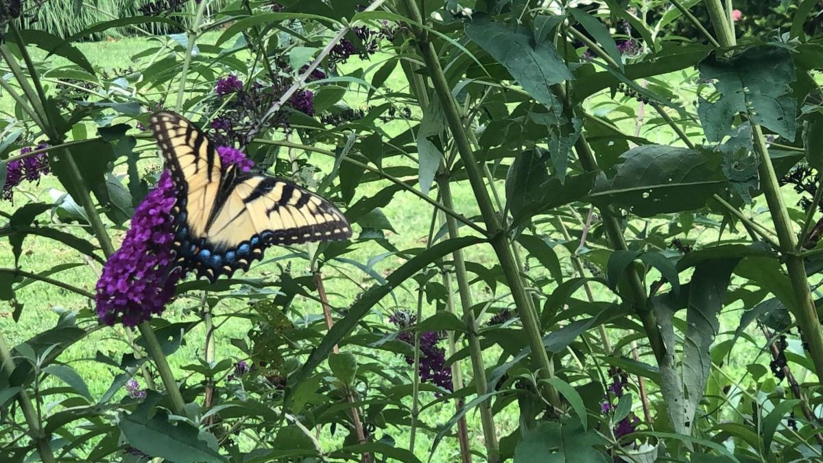 Butterflies love butterfly bushes.