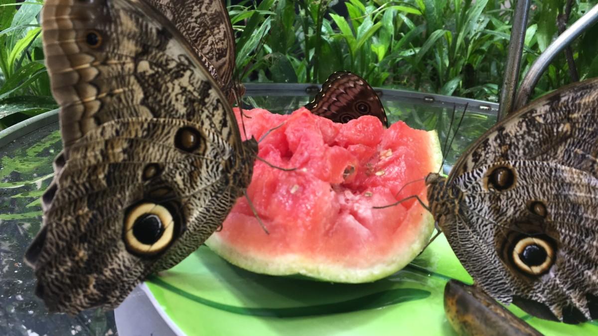 Butterflies drinking watermelon juice.