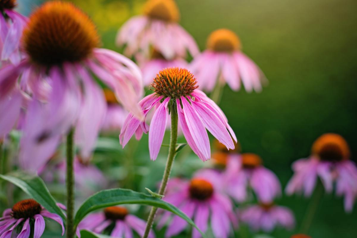 Beautiful echinacea flowers.