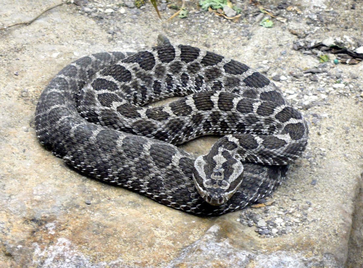 The deadly massasauga rattlesnake.