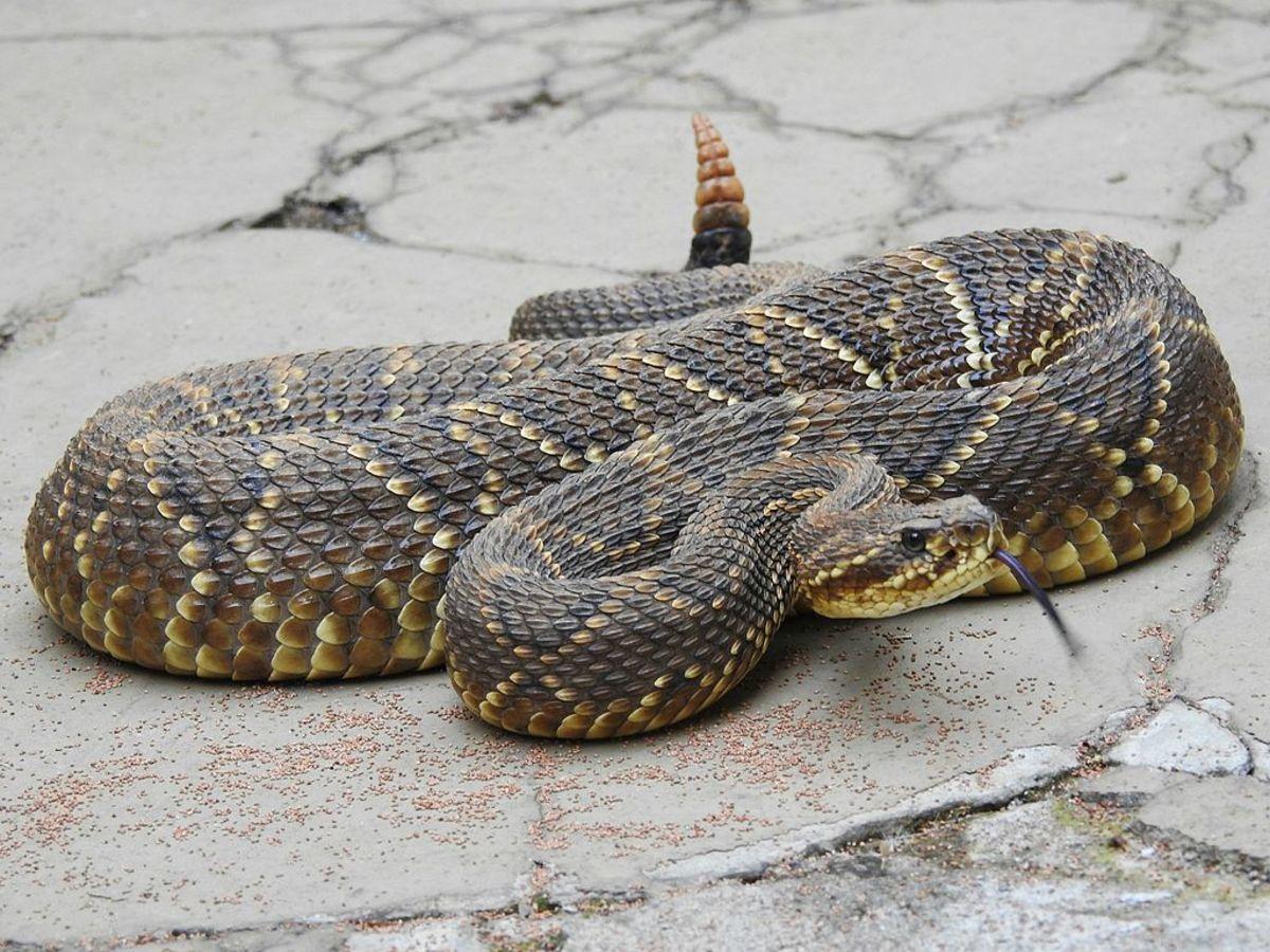 The highly venomous neotropical rattlesnake.