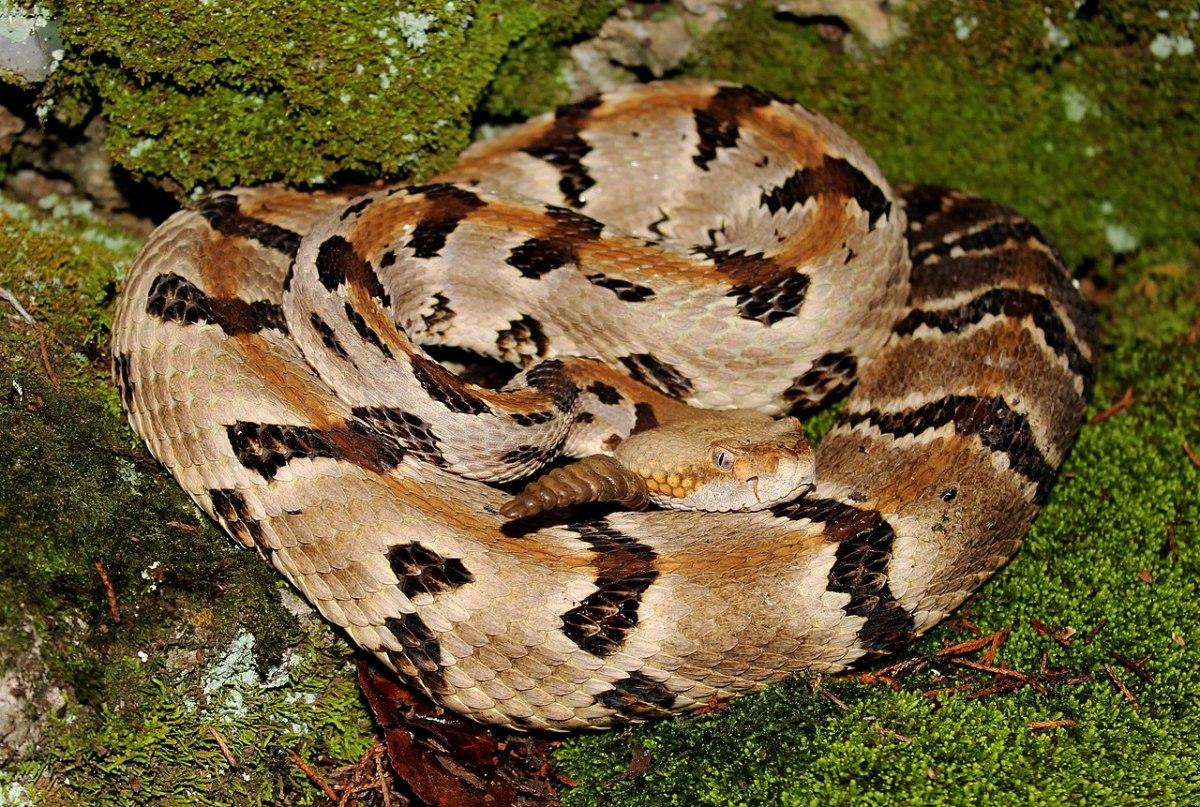 The deadly timber rattlesnake.