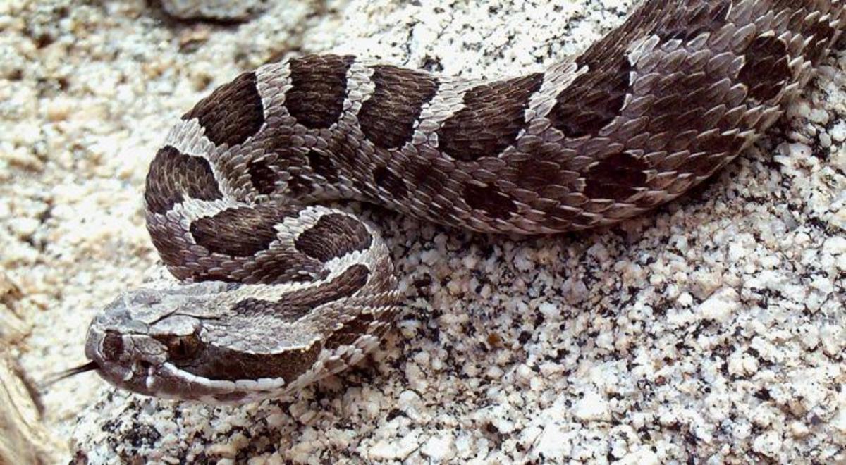 The desert massasauga rattlesnake.