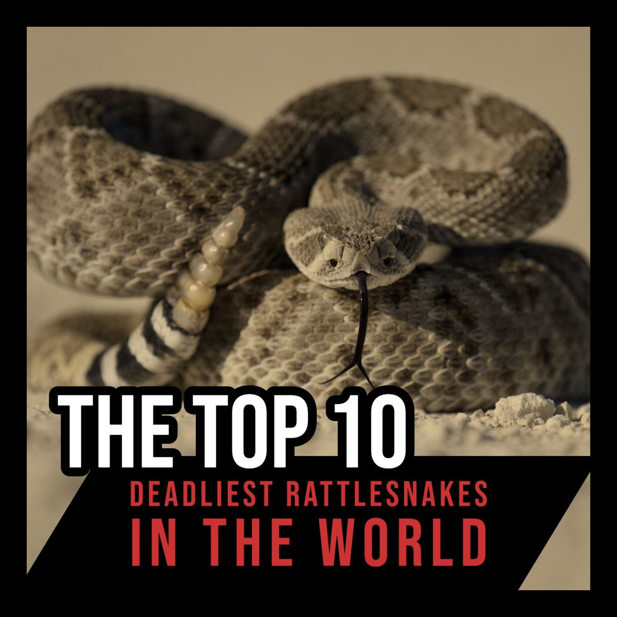 What is the world's deadliest rattlesnake?  Which species is the most dangerous to humans?  This article answers these questions (and more) as it examines and ranks the world's deadliest species of rattlesnake.