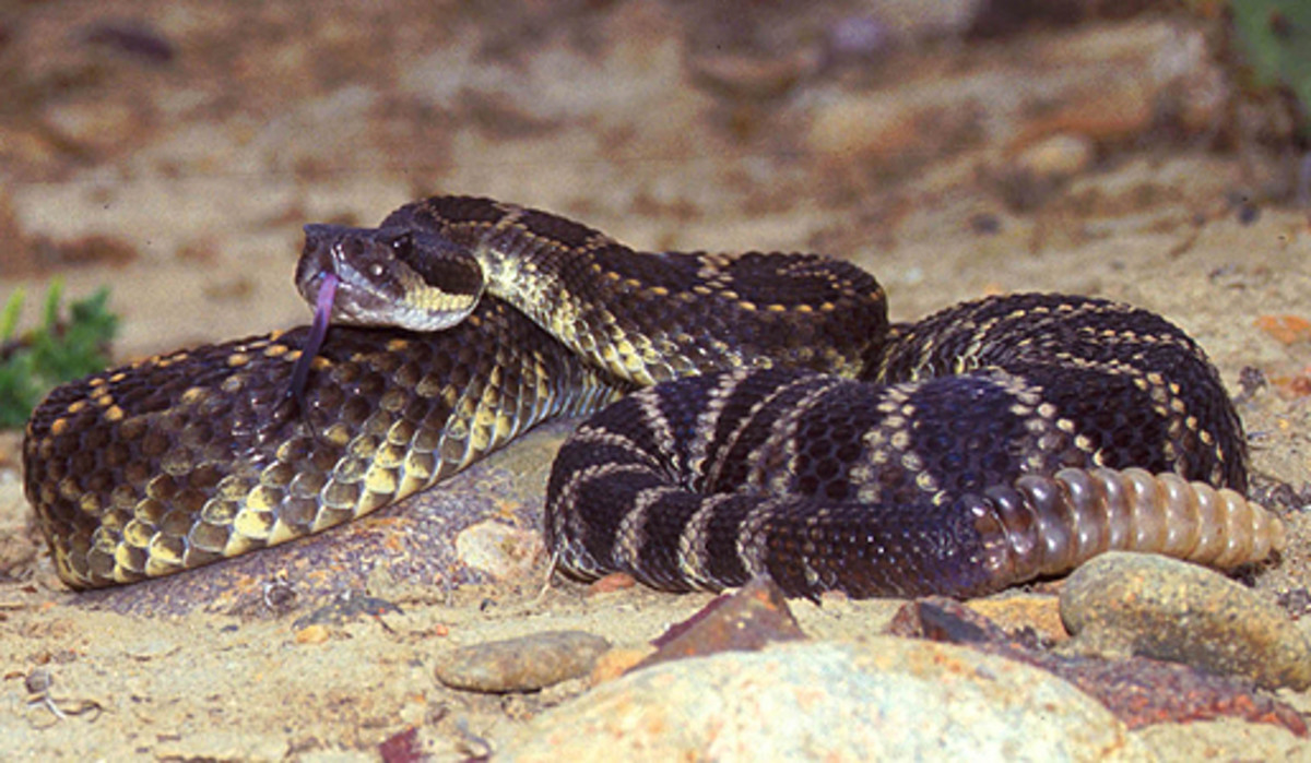 The deadly Southern Pacific rattlesnake.