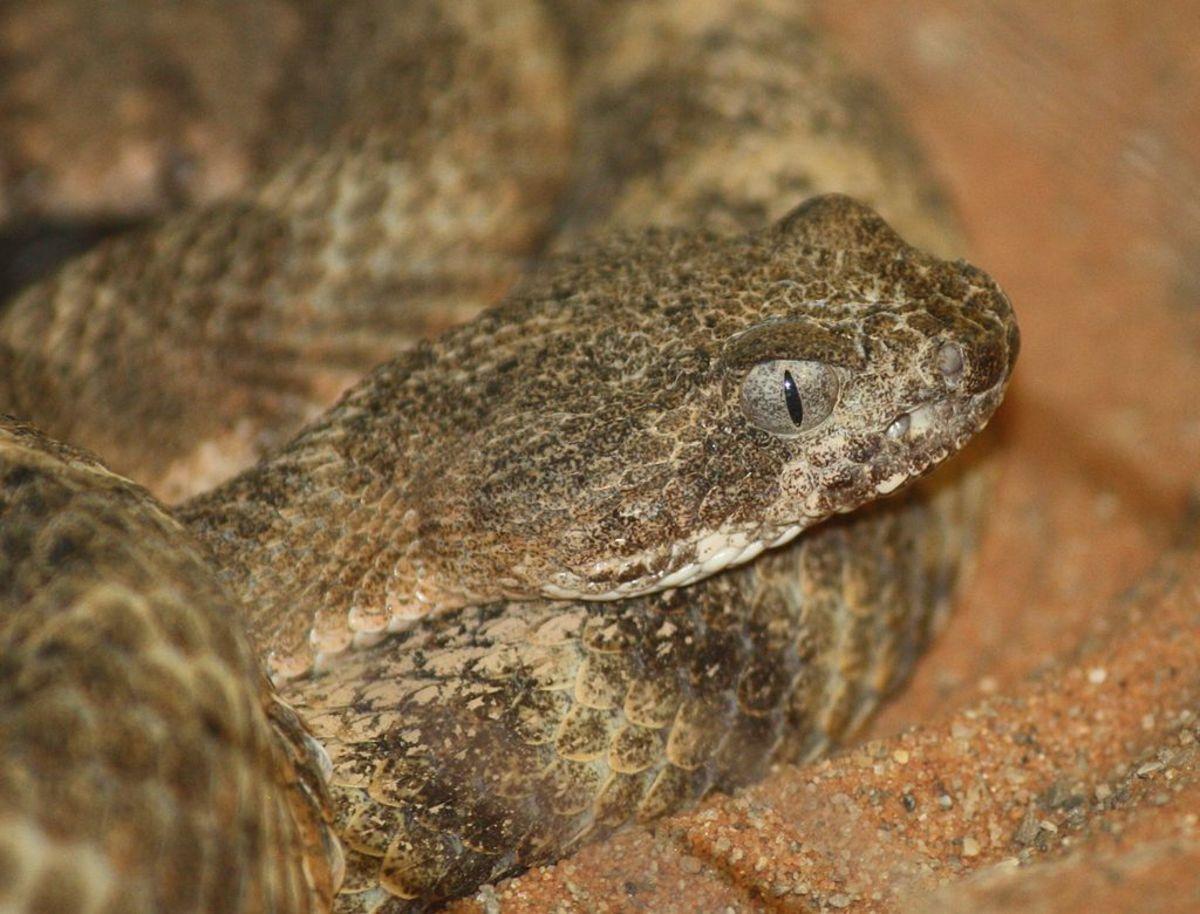 The tiger rattlesnake.