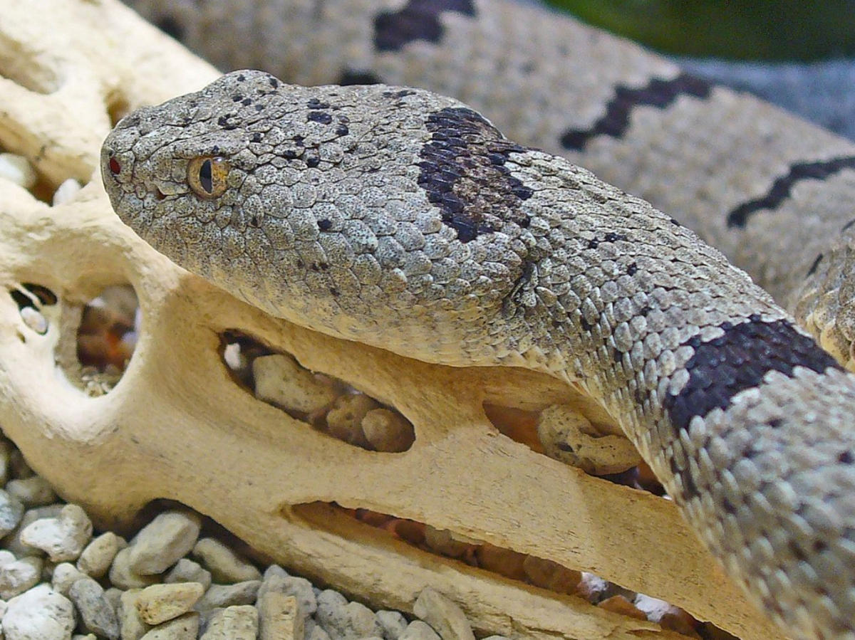 The infamous banded rock rattlesnake.