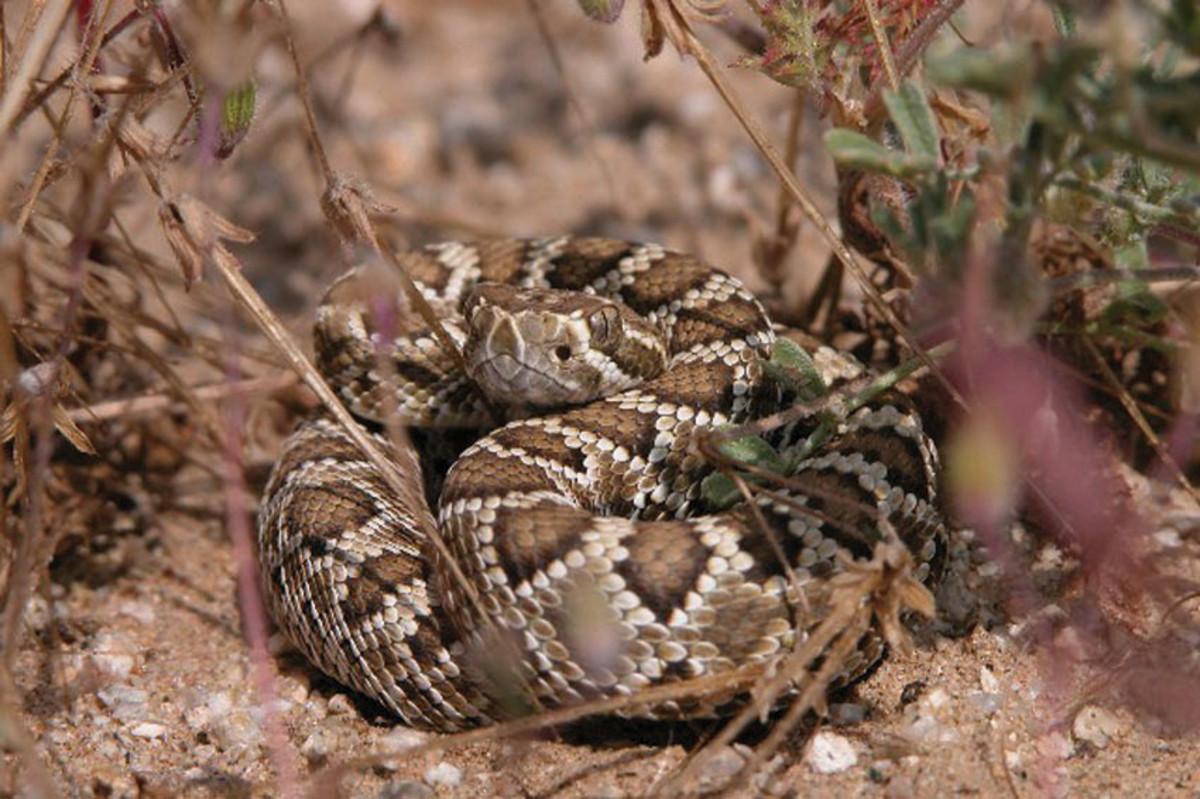 The Mojave green rattlesnake; deadliest rattlesnake species in the world.