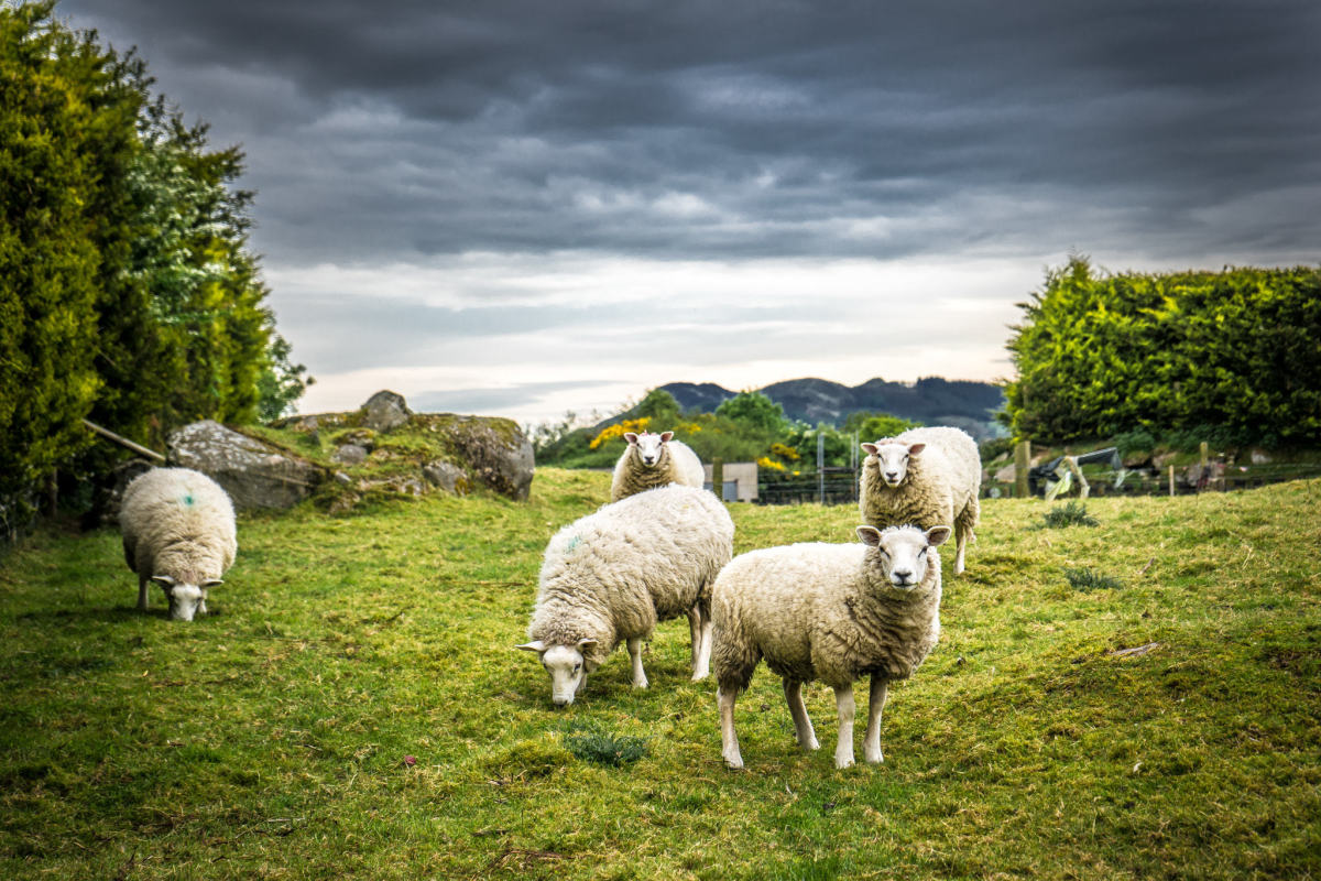 Origin Green started out by promoting grass-fed sheep and cattle.