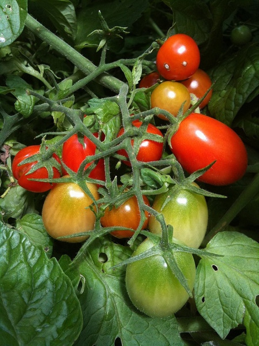 plum tomatoes growing