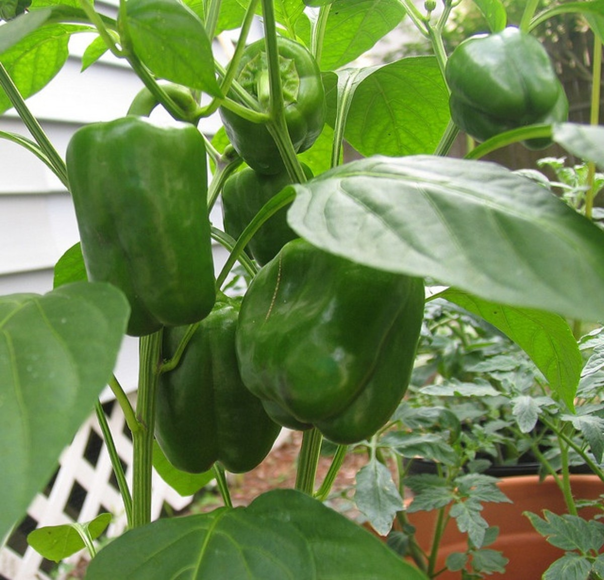 bell peppers growing