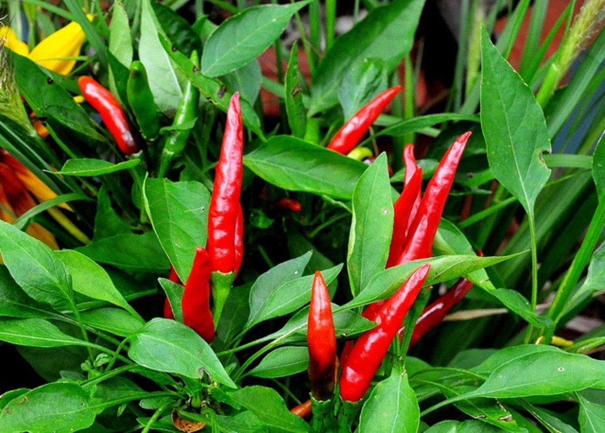 chilli peppers growing