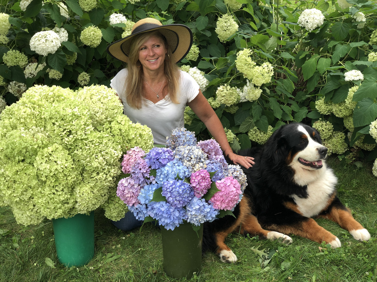 Learn why your limelight hydrangeas may not be blooming when your other hydrangeas are.