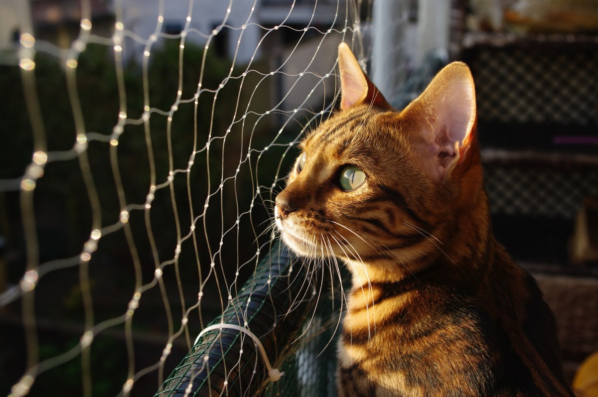Personality of Bengal cat