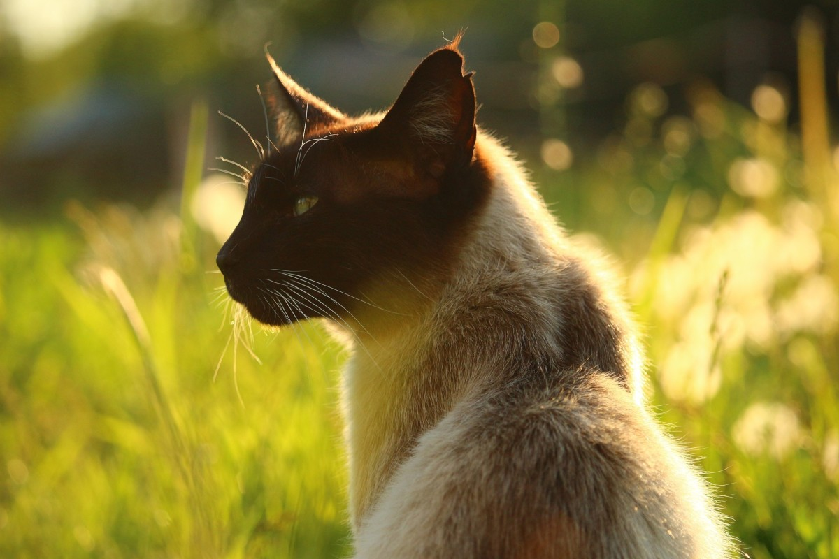 Personality of Siamese