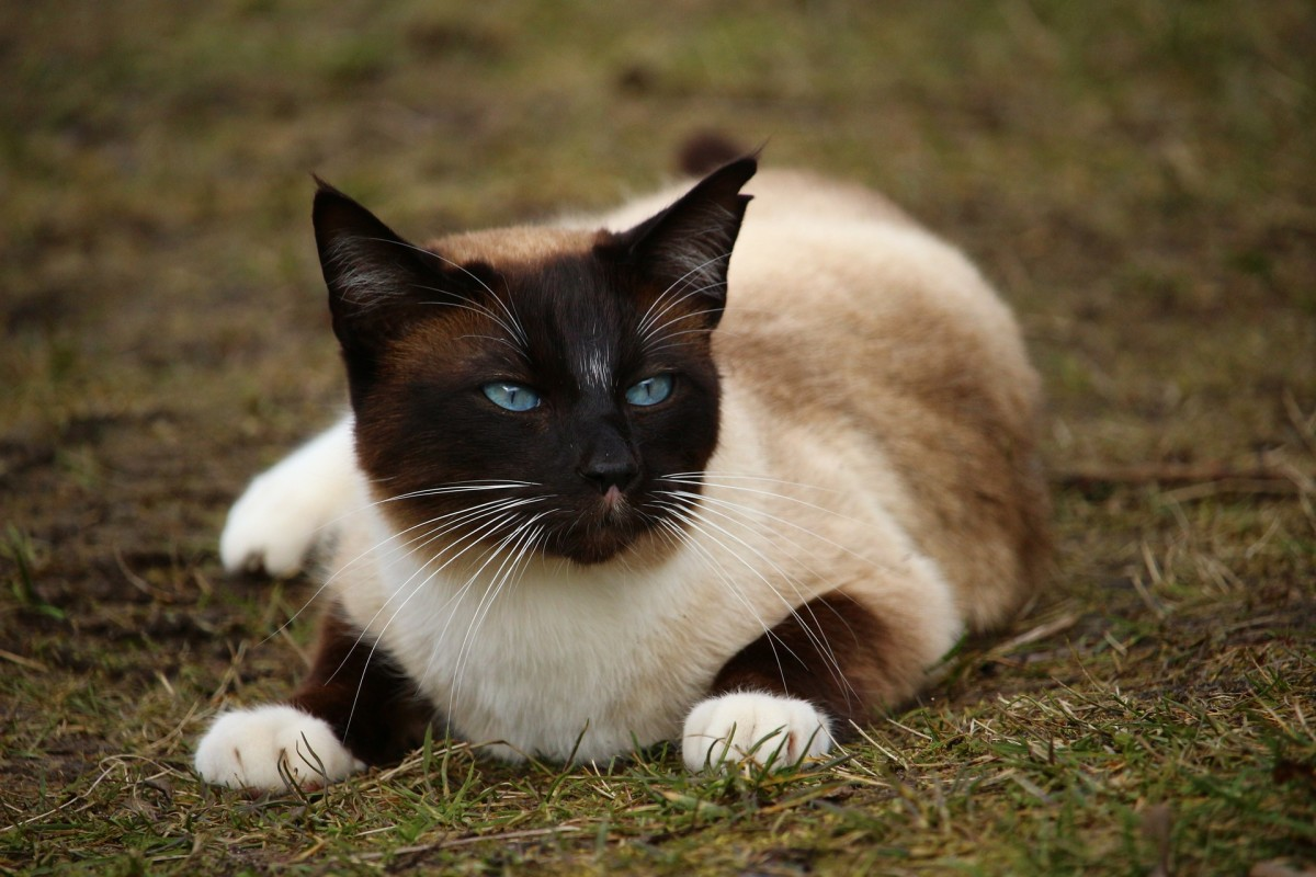 Appearance of Siamese cat