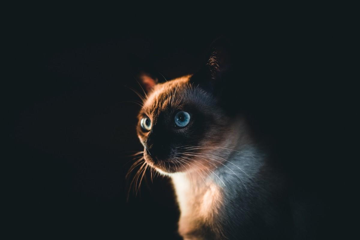 History of Siamese cat :