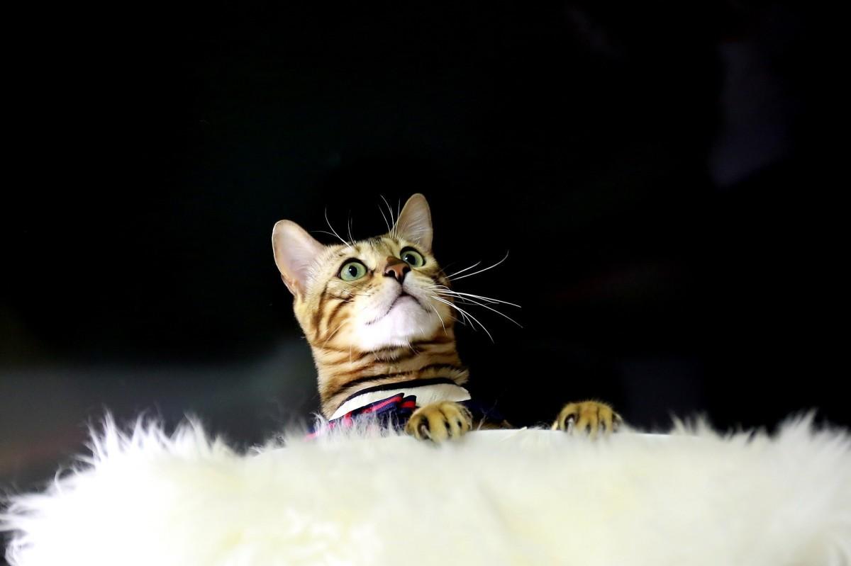 siamese-cat-versus-bengal-cat