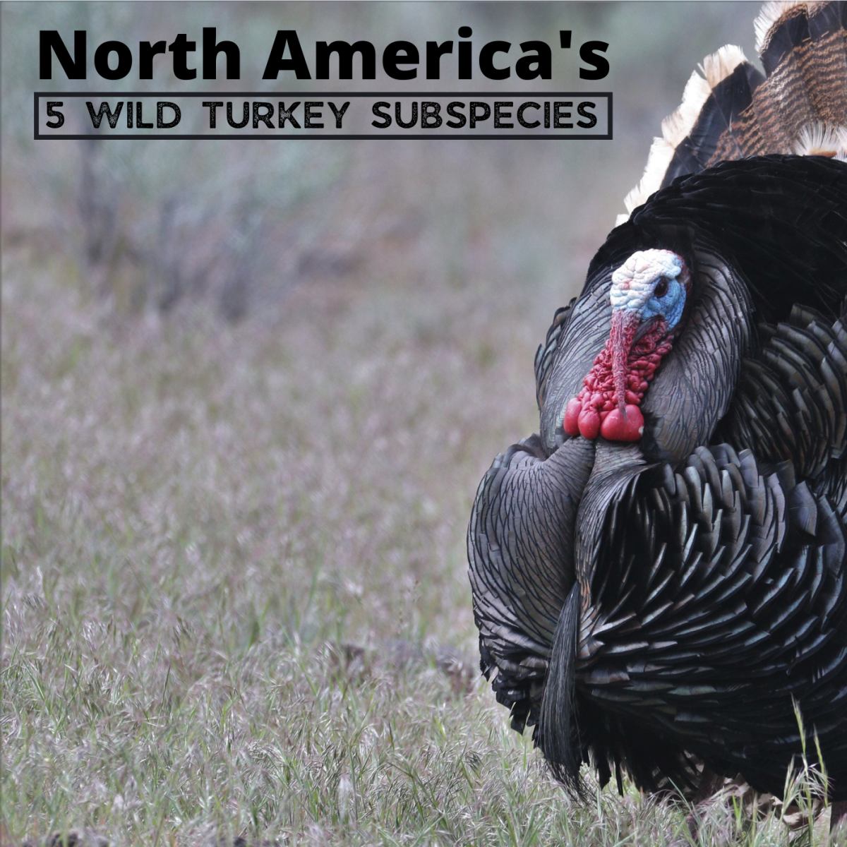 North American wild turkeys are all the same species, but they can be divided into five unique subspecies by characteristics like size, range, and appearance.
