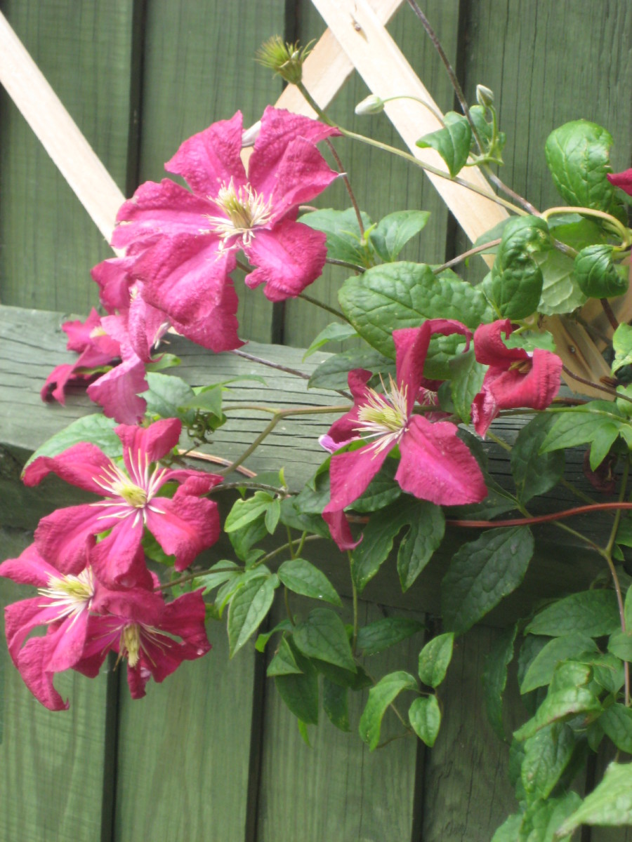 photo of a clematis in flower