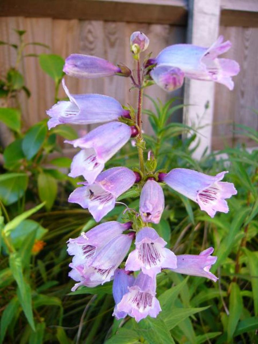 photo: Penstemon flowers - this one is soft bluey-lilac shades.