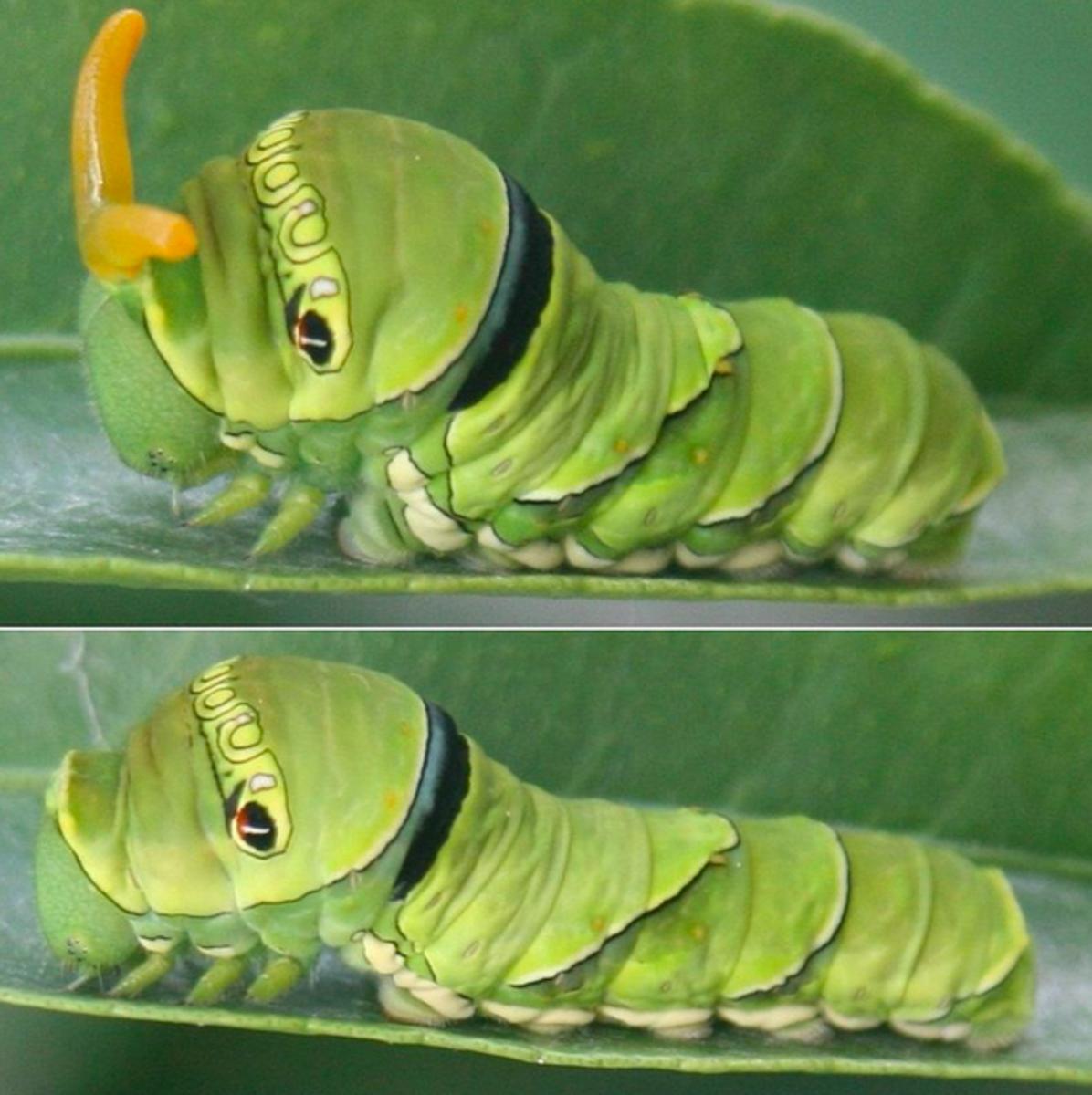 Swallowtail caterpillar showing the osmeterium (top)