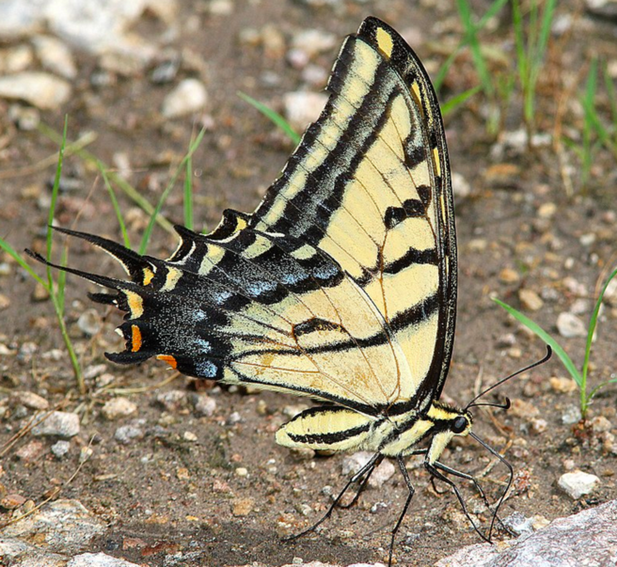 The two-tailed swallowtail