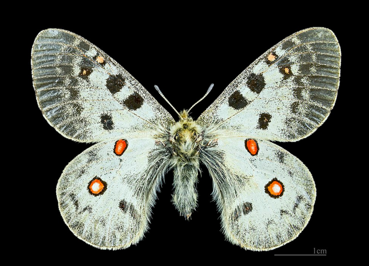 Parnassius swallowtails look very different from most of their relatives