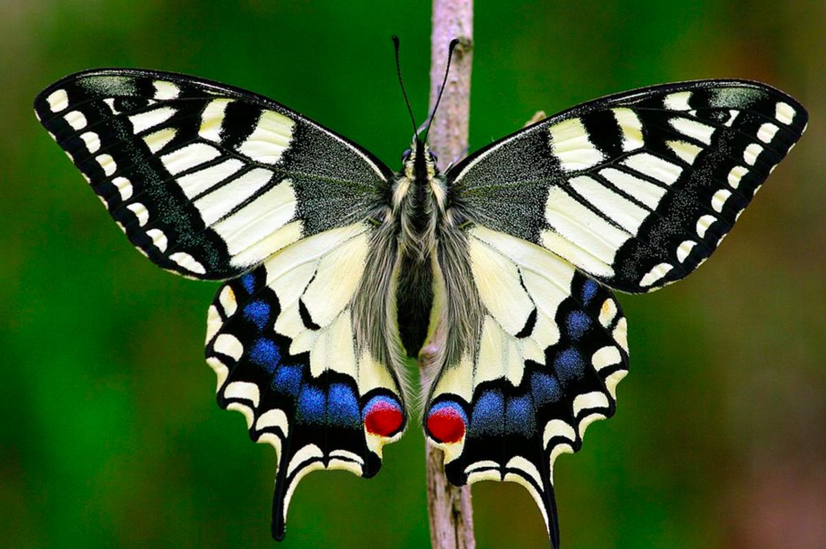 Papilio machaon, very similar to the Oregon swallowtail