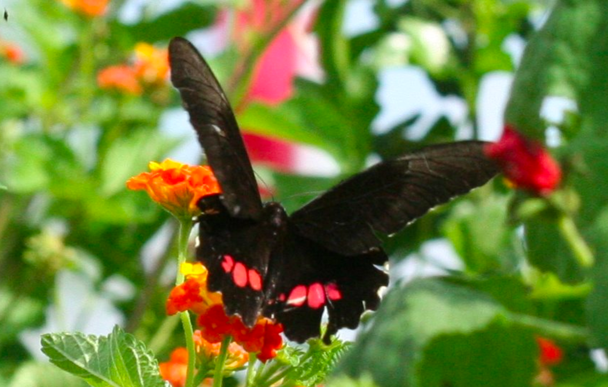 If you are lucky, you may come across a ruby-spotted swallowtail