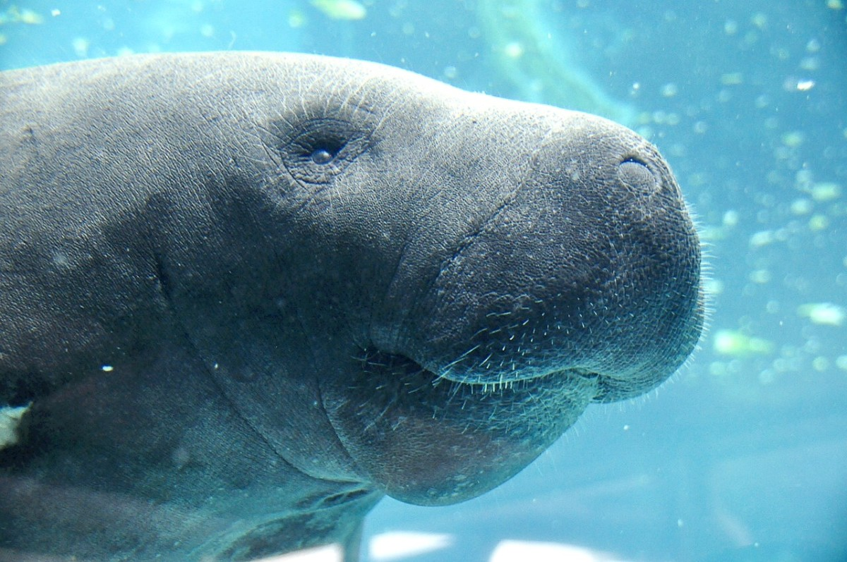 The face of a manatee