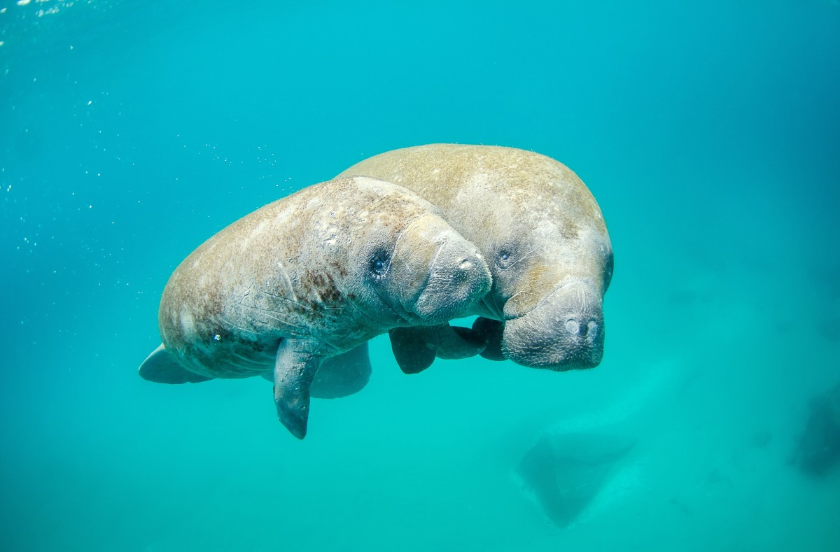 A mother manatee and her calf in Palm Beach Inlet, Florida