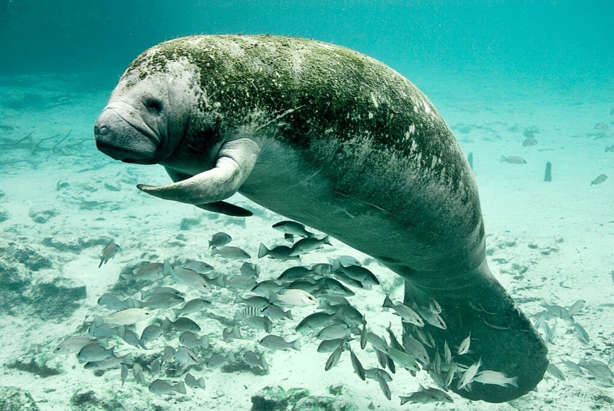 A manatee resting at Three Sisters Springs in Florida