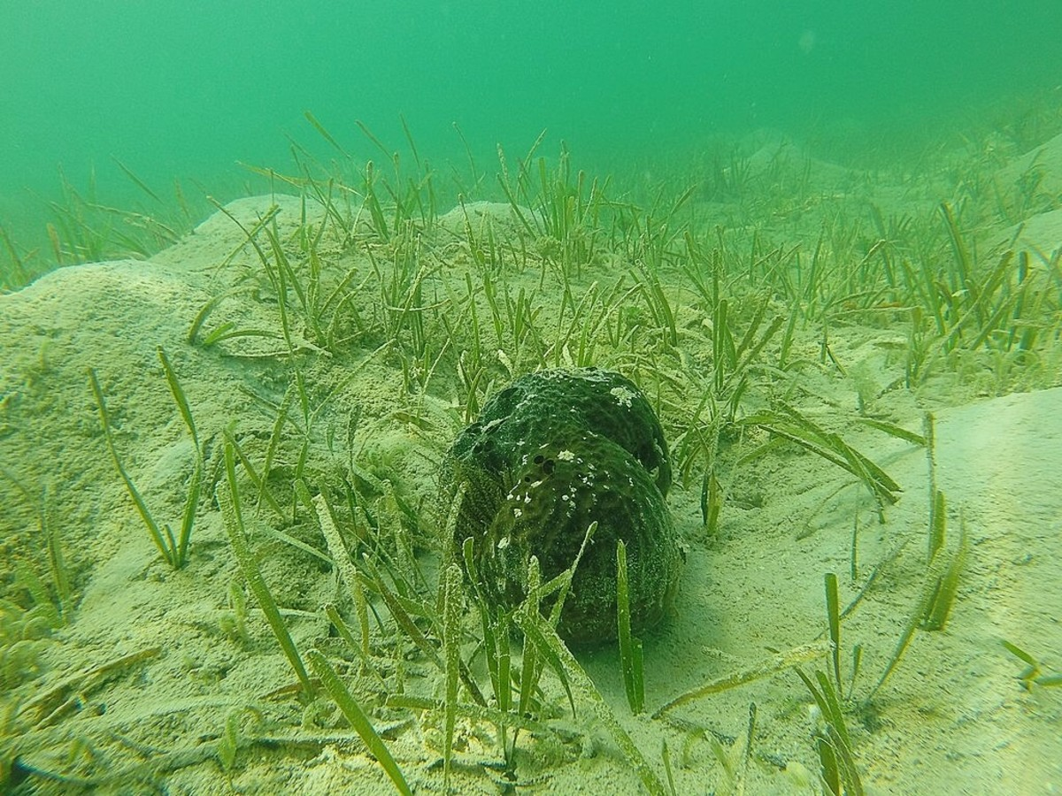 Turtle grass, a sponge, and a sea anemone in Florida