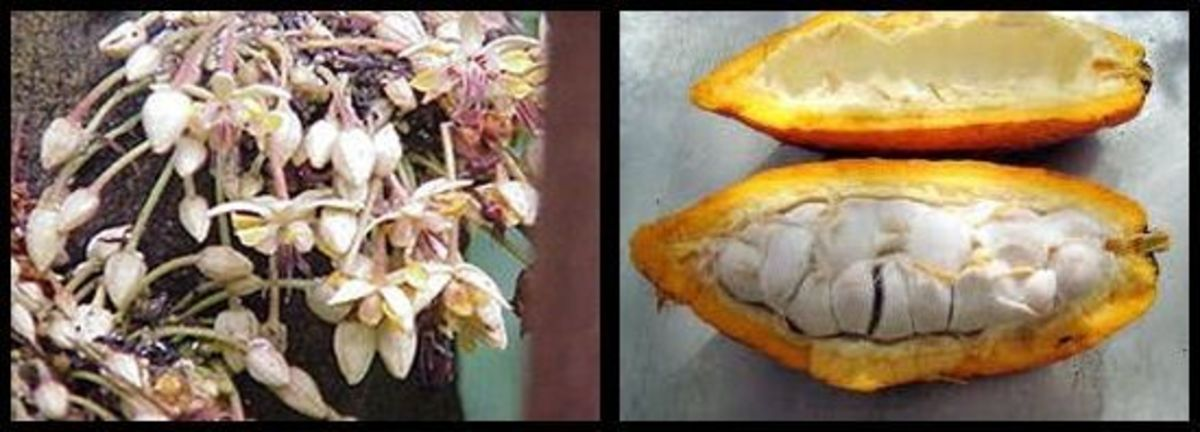 flowers and seed of the cacao tree
