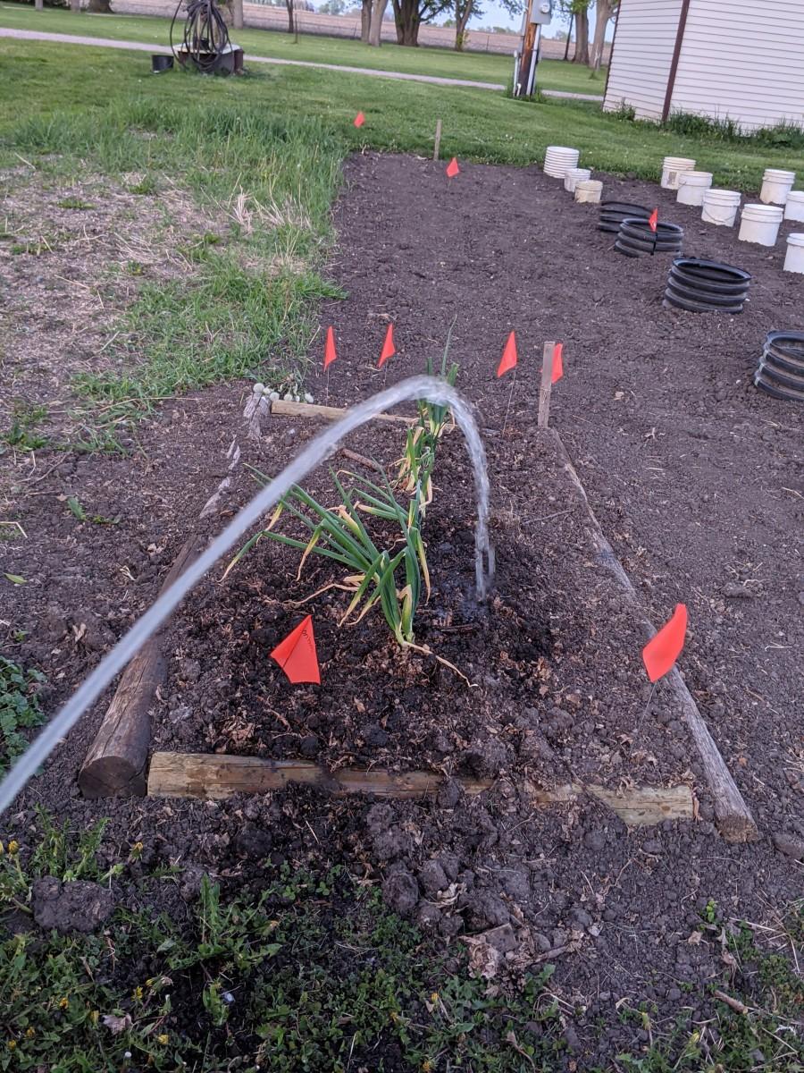 onion-box-perennial-onion-growing