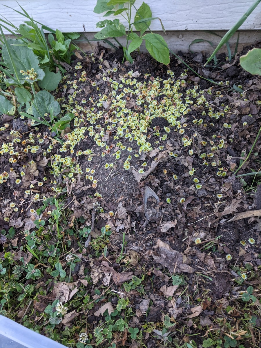 rhubarb-patch-controlling-the-seeds-and-expansion