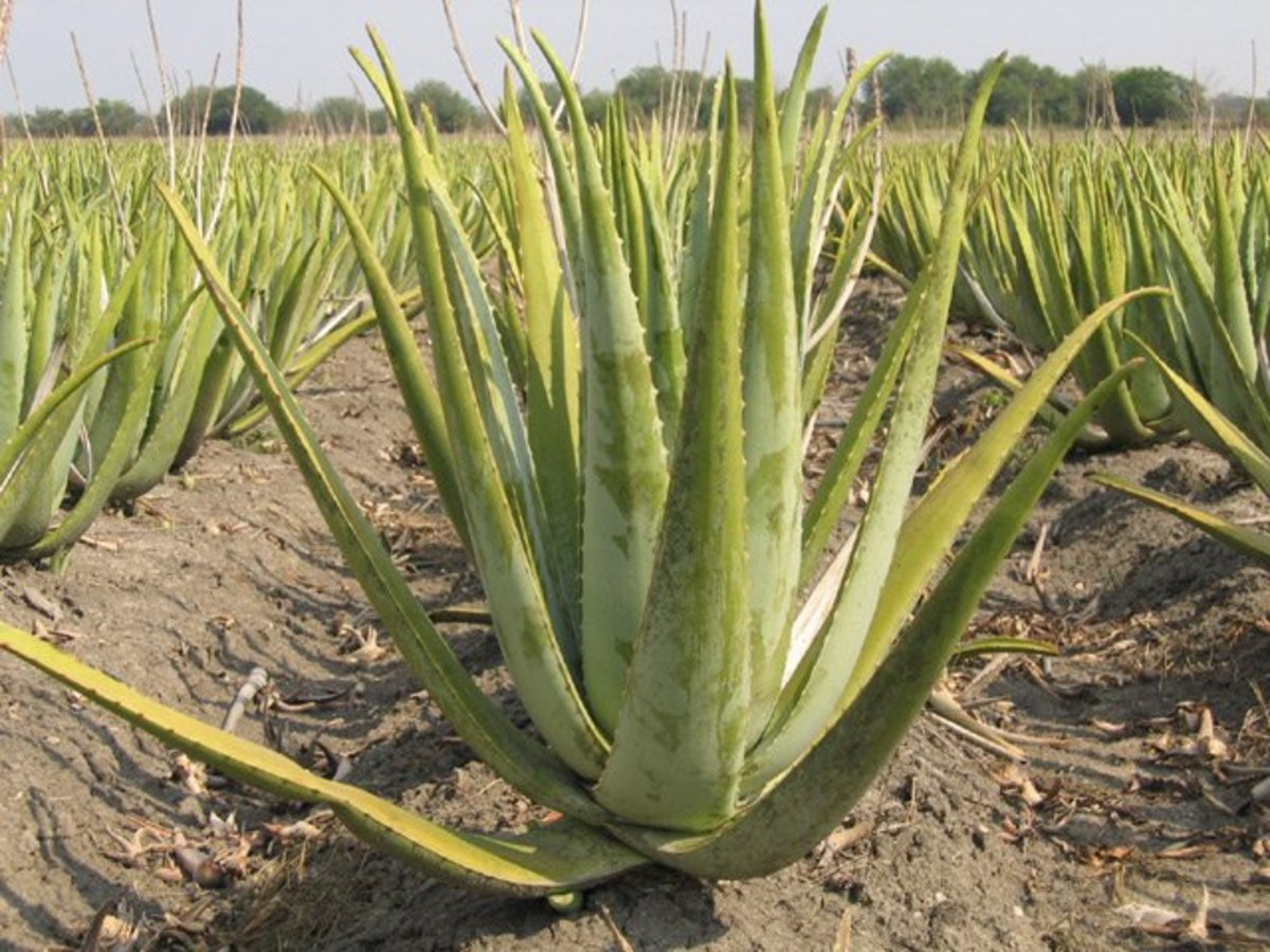 This is a field of aloe vera plants.