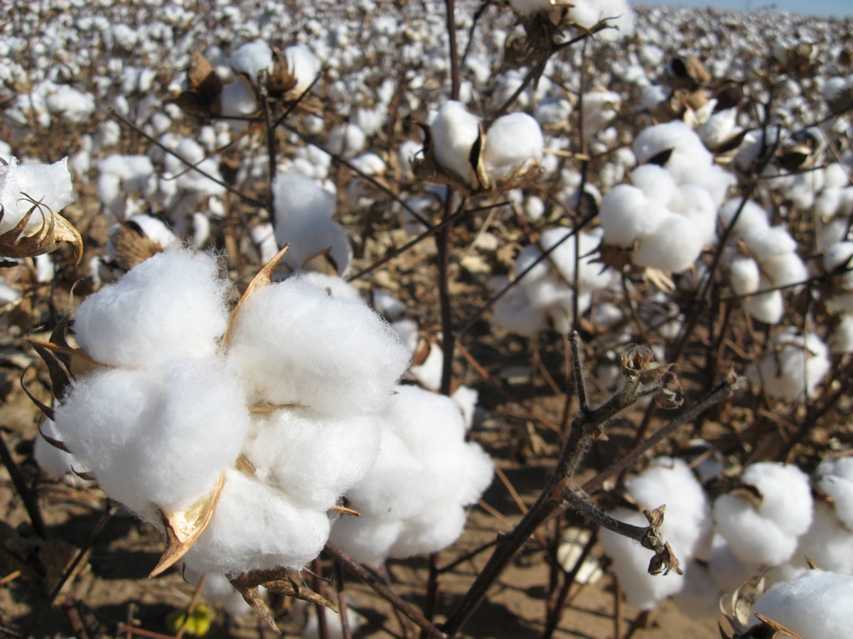 A cotton crop ready for harvest.