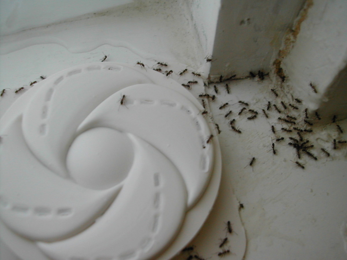 Ways to Get Rid of Ants at Home