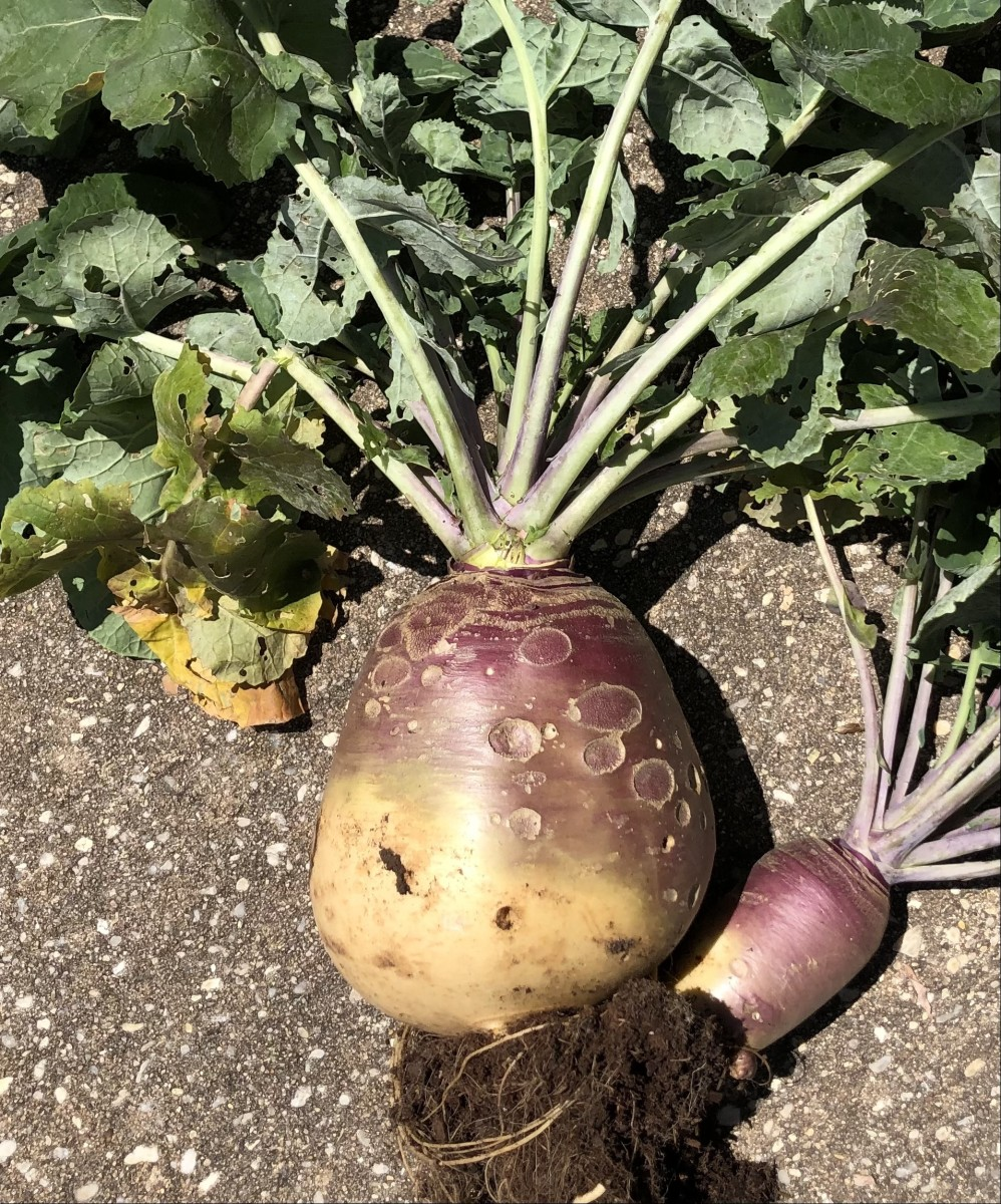 This is the last rutabaga from our garden this spring (2021). It weighed in at a little over 4 pounds, and had even started growing it's own pup. It's the largest one I have ever seen.