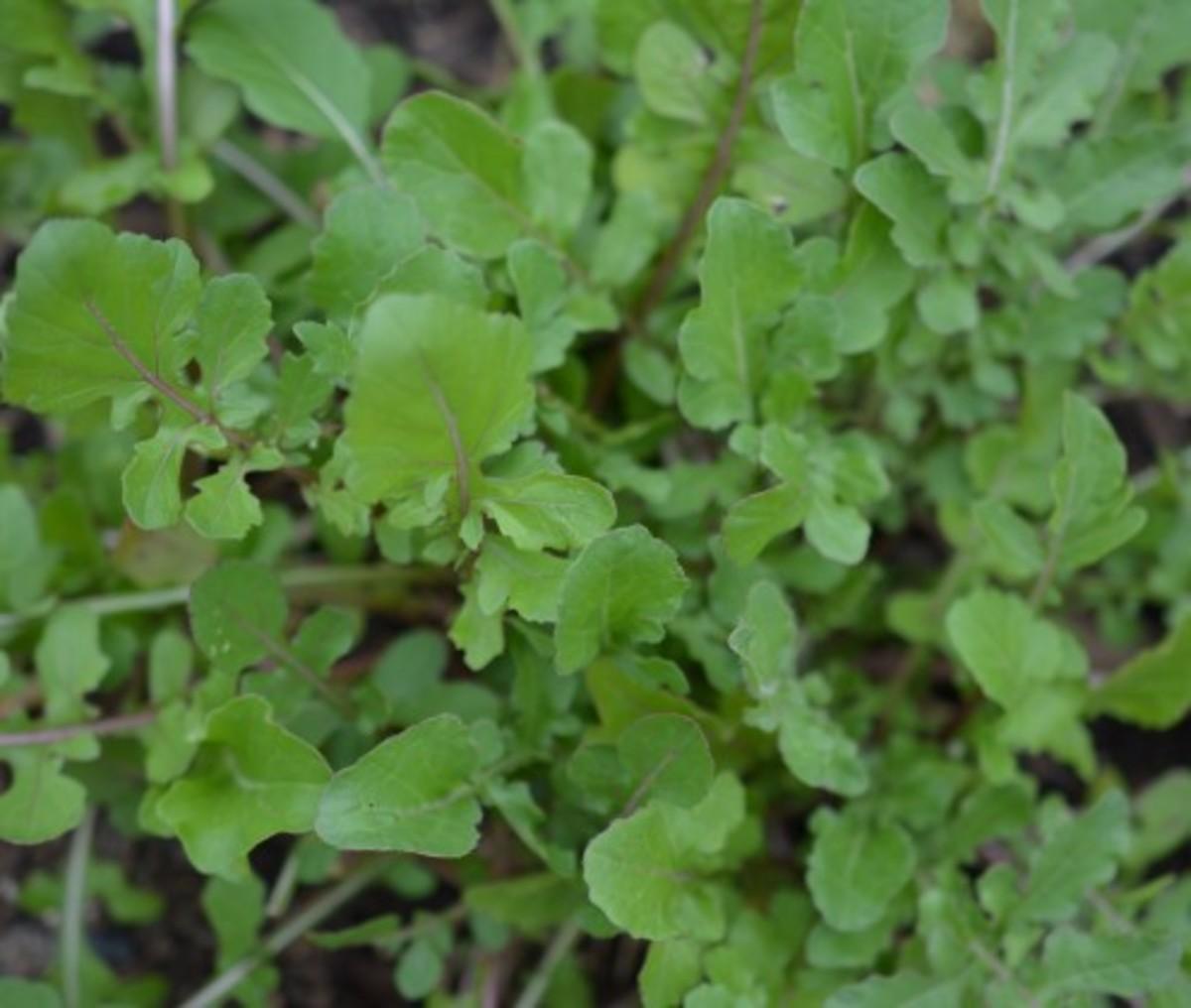 Arugula in my kitchen garden last season added a nutty, peppery taste to our salads.