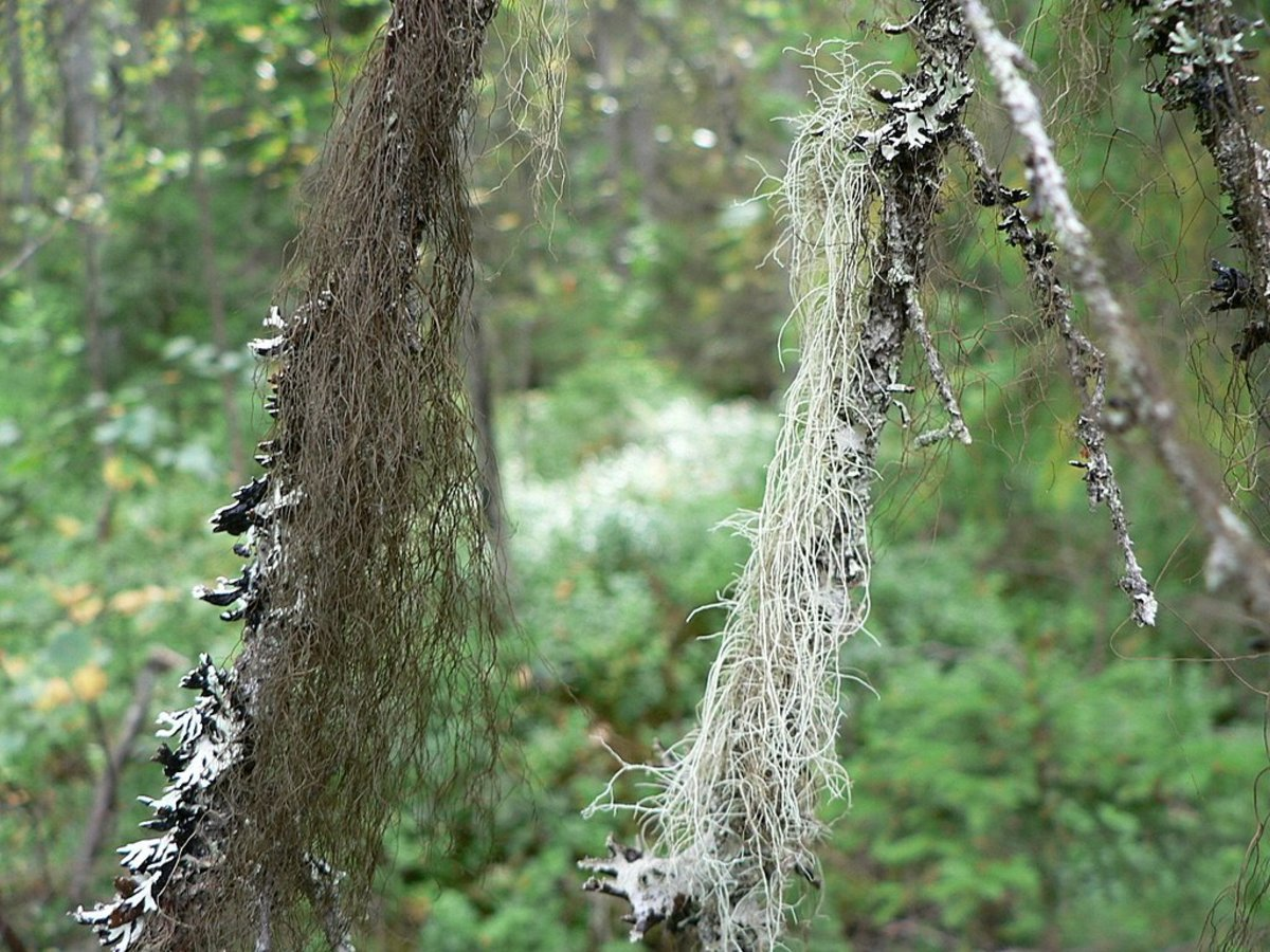 Hair-like lichens hanging from trees.