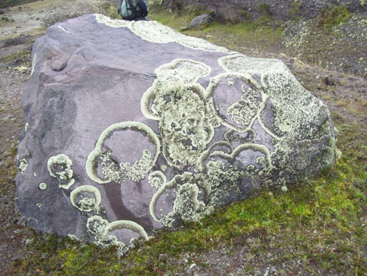 Lichens growing on a rock.