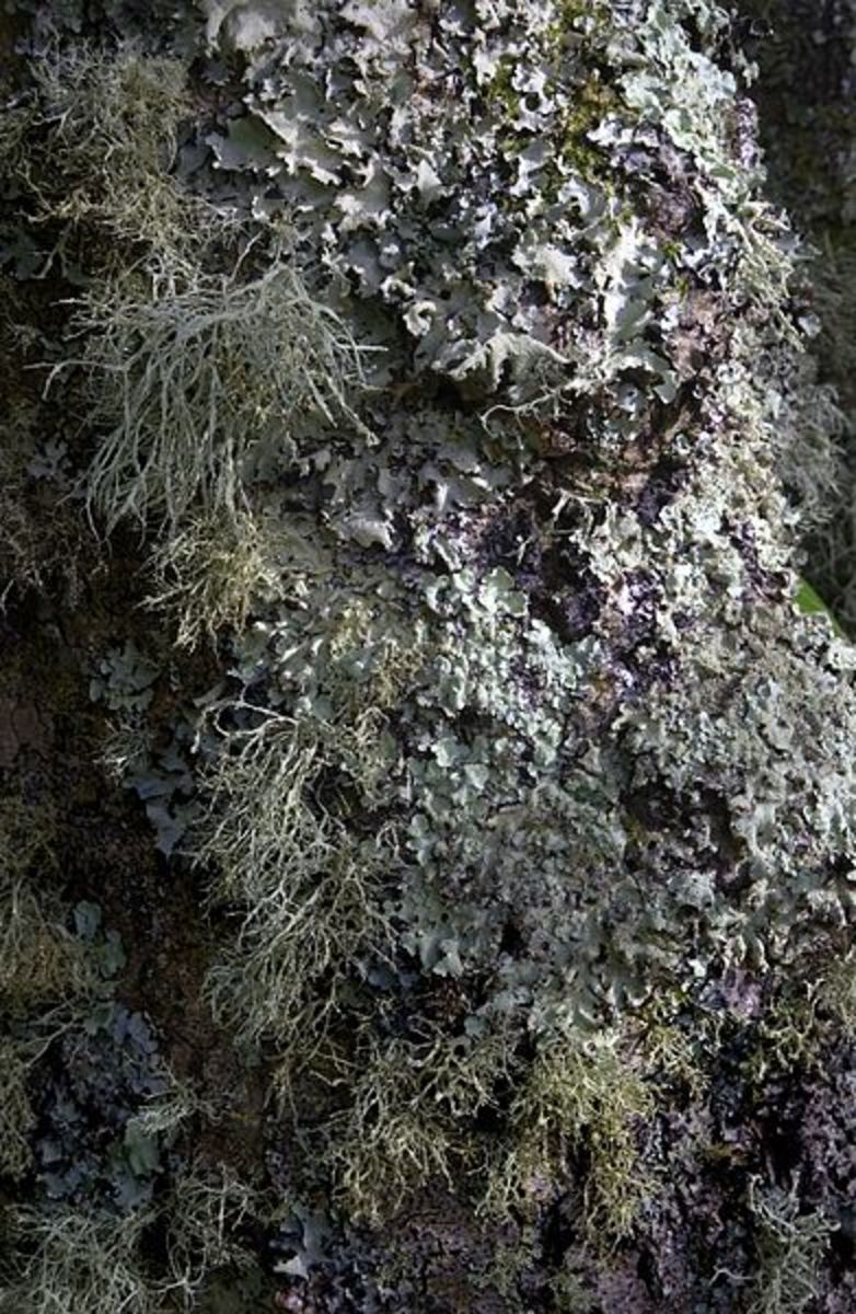 Lichen-covered tree trunk.