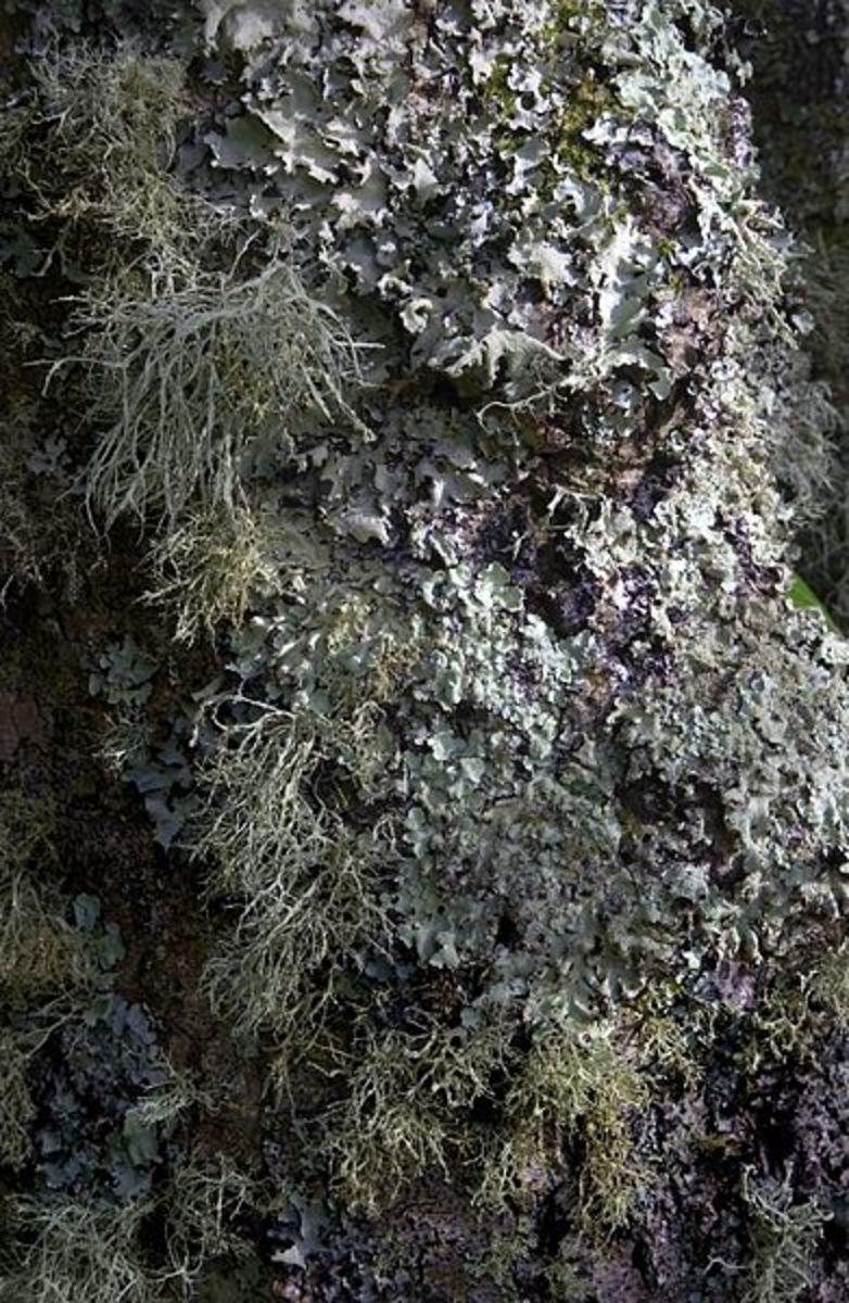 Lichen-covered tree trunk.