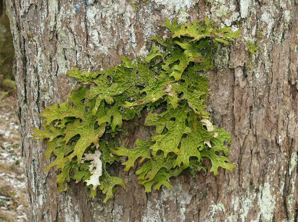 Lobaria pulmonaria, a leafy lichen sensitive to air pollution.