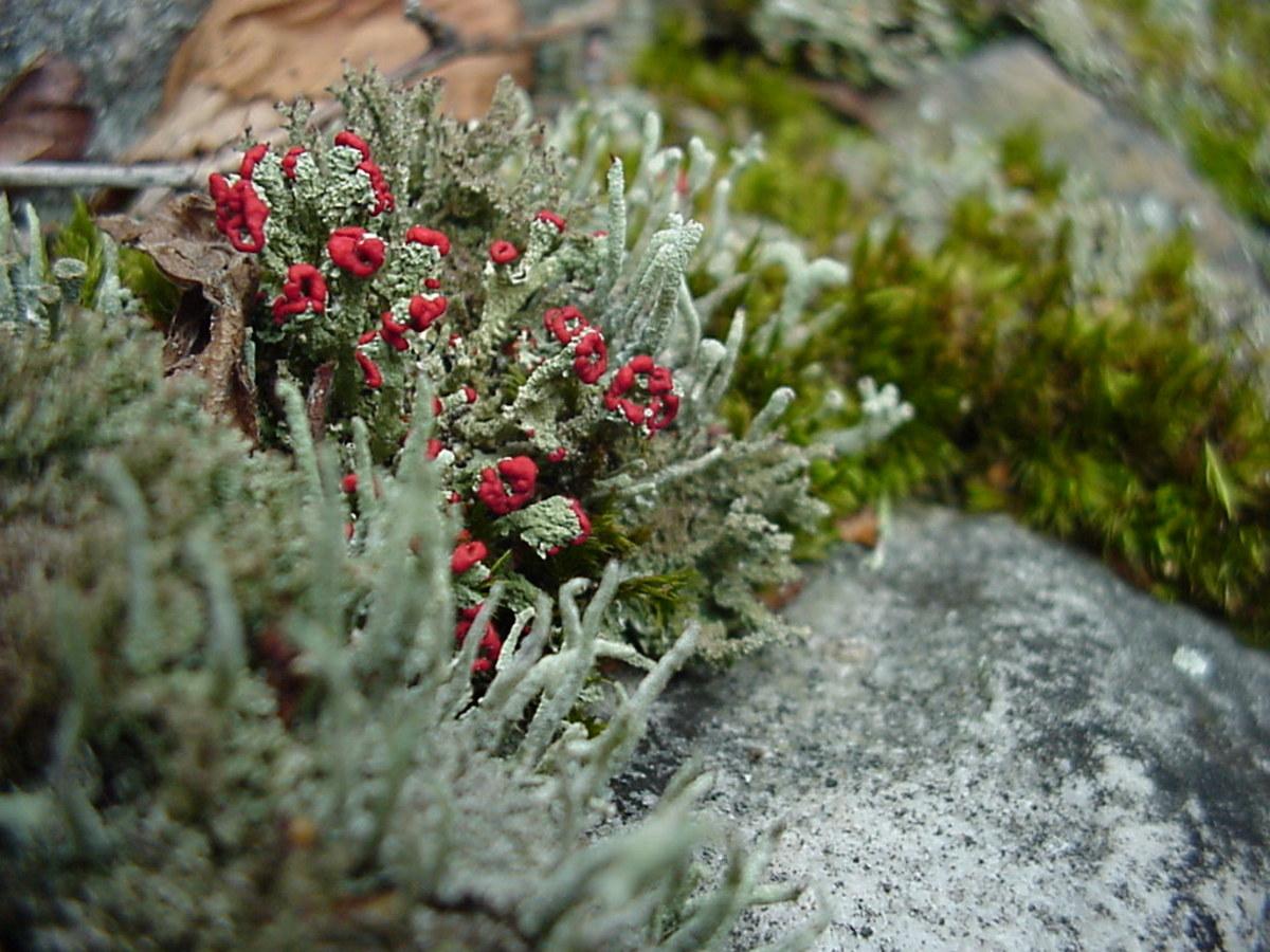Lichen Cladonia cf. cristatella, a lichen commonly referred to as British Soldiers.